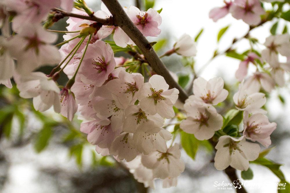 Sakura-Watch-May-2-2017-cherry-blossoms-falling-in-High-Park-141.jpg