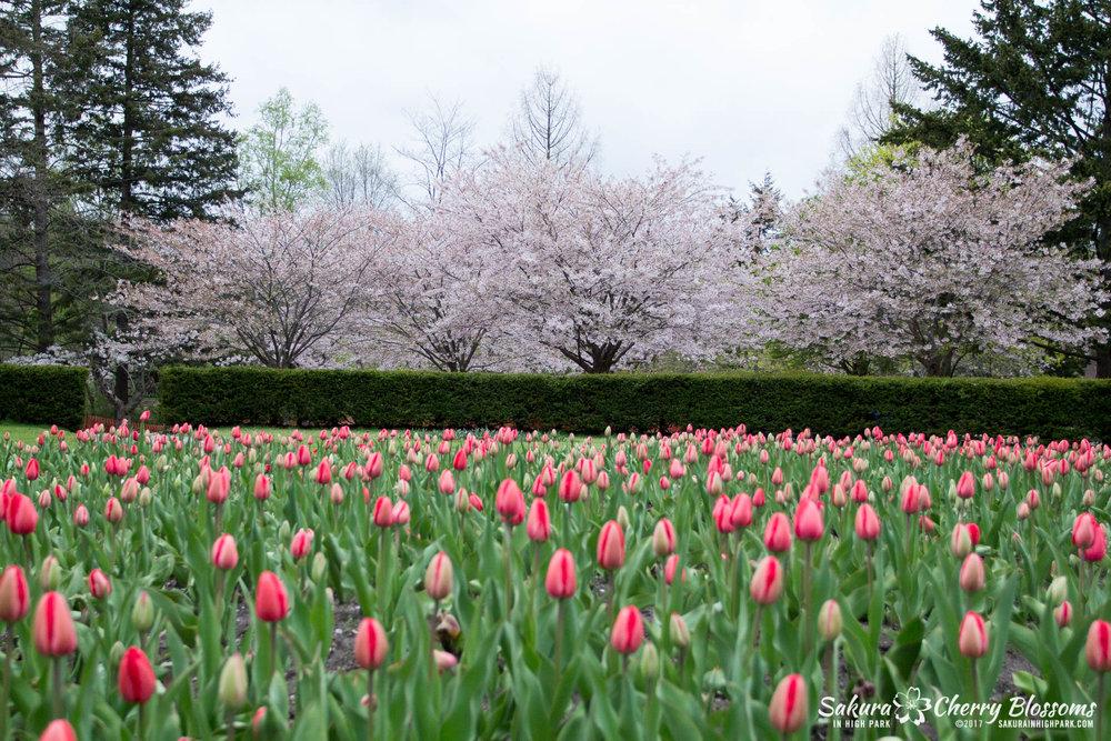 Sakura-Watch-May-2-2017-cherry-blossoms-falling-in-High-Park-215.jpg