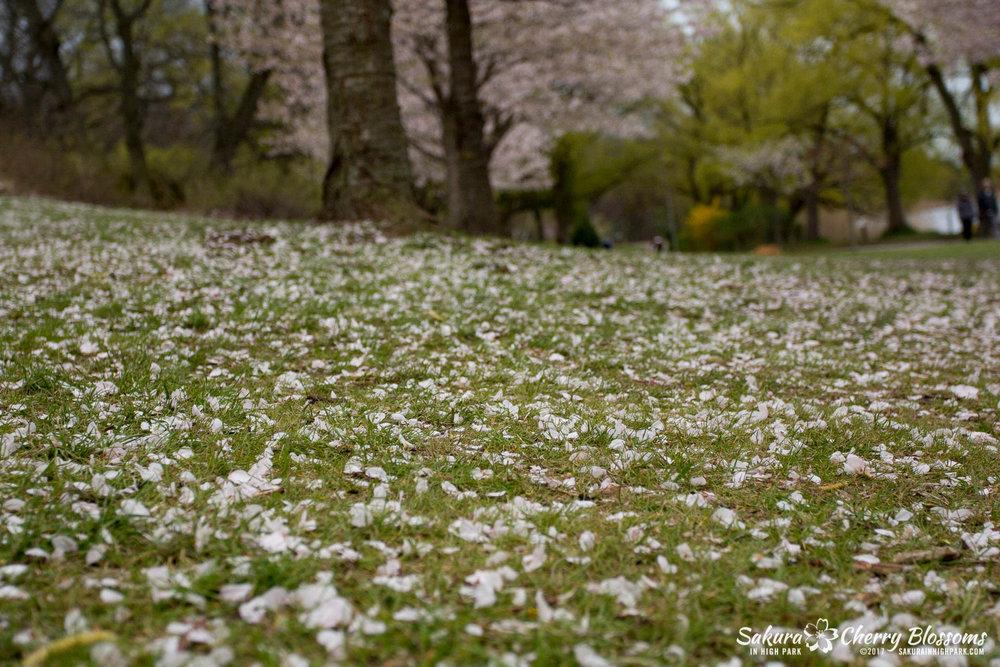 Sakura-Watch-May-2-2017-cherry-blossoms-falling-in-High-Park-200.jpg
