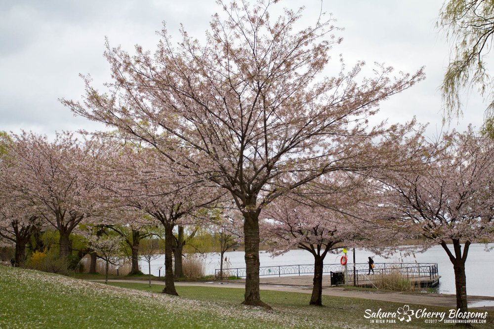 Sakura-Watch-May-2-2017-cherry-blossoms-falling-in-High-Park-189.jpg