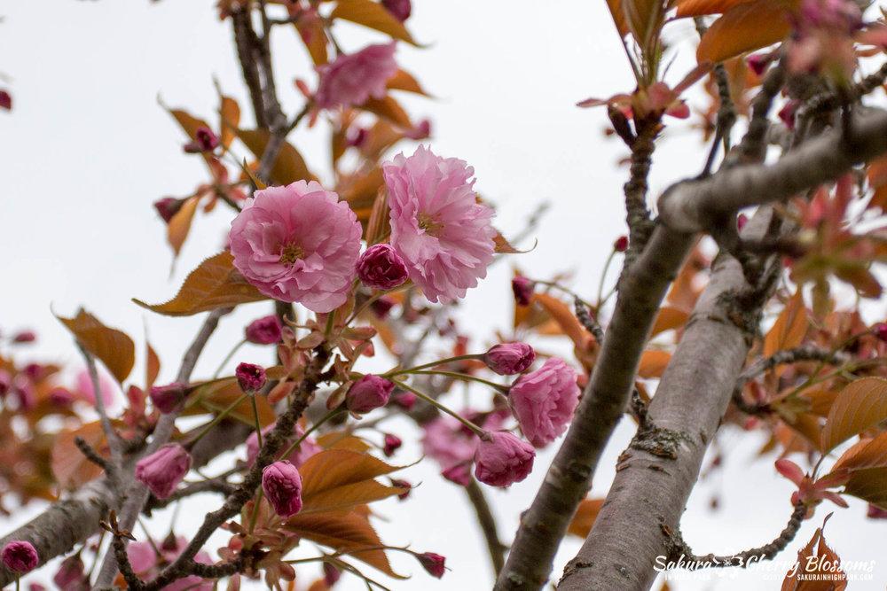 Sakura-Watch-May-12-2017-akebono-fugenzo-in-bloom-162.jpg
