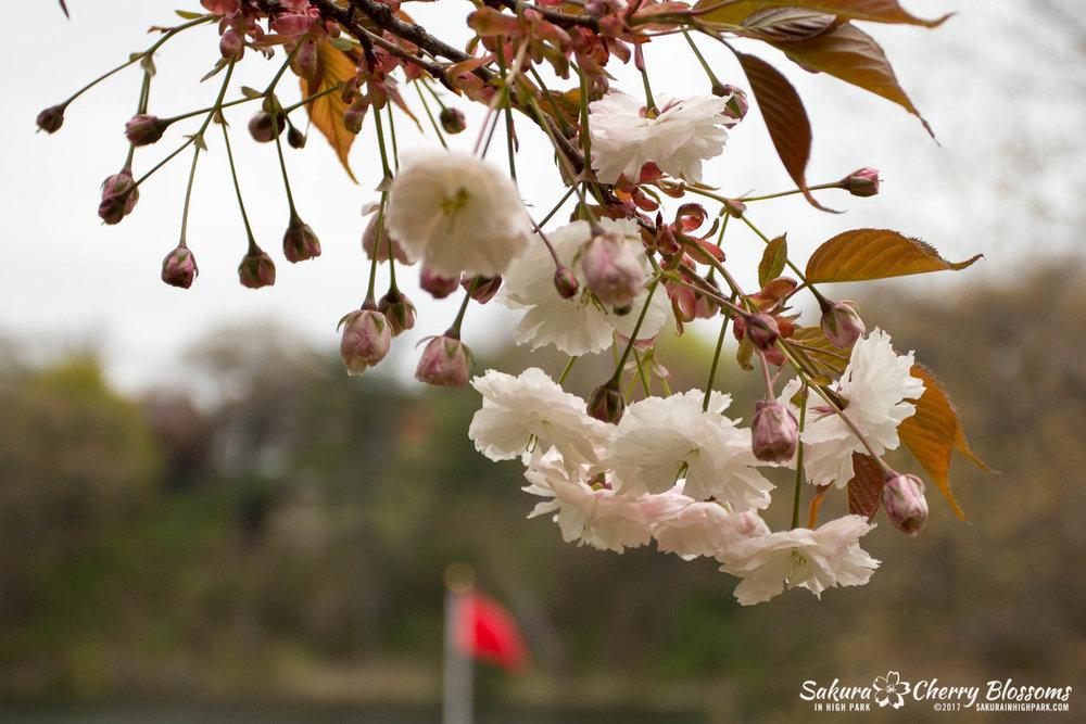 Sakura-Watch-May-12-2017-akebono-fugenzo-in-bloom-129.jpg