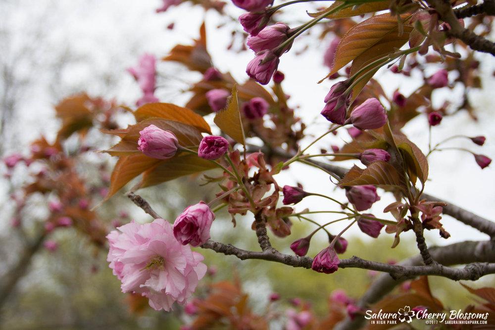 Sakura-Watch-May-12-2017-akebono-fugenzo-in-bloom-167.jpg