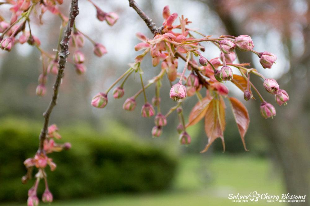 Sakura-Watch-May-12-2017-akebono-fugenzo-in-bloom-145.jpg