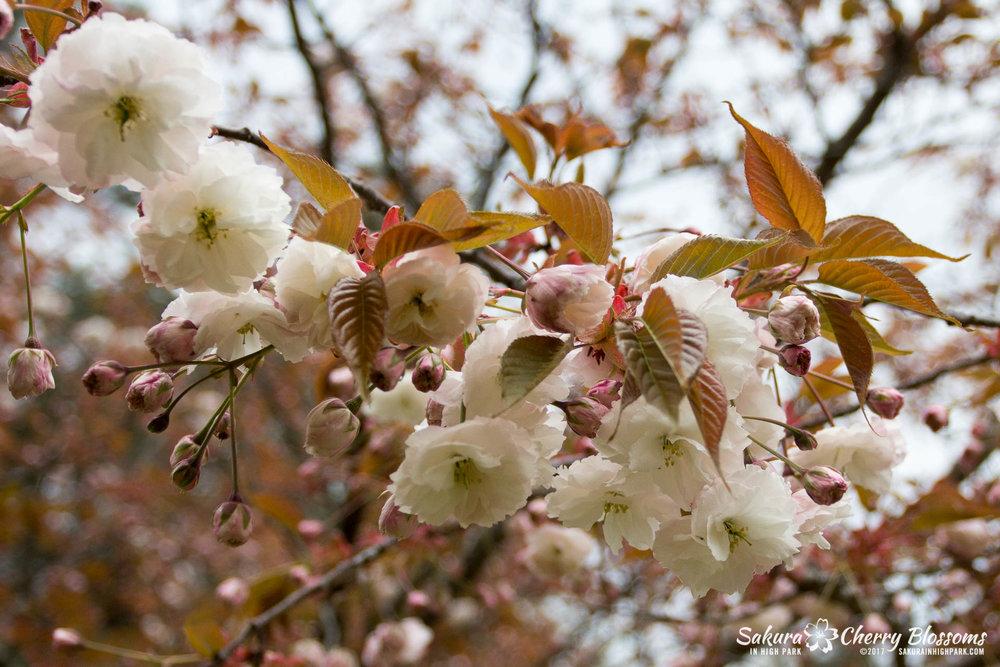 Sakura-Watch-May-12-2017-akebono-fugenzo-in-bloom-122.jpg