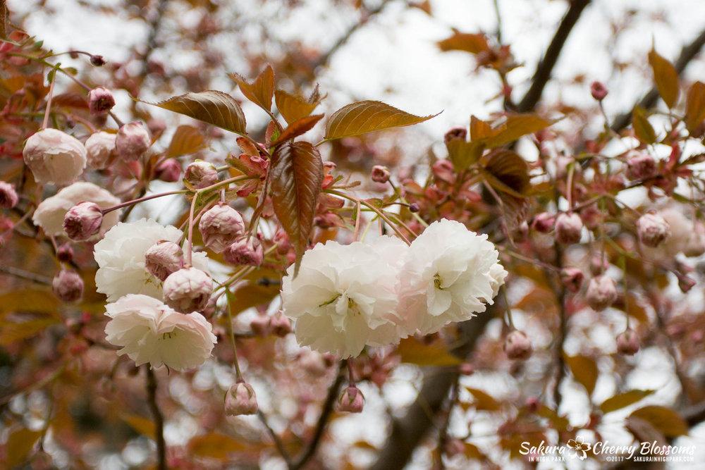 Sakura-Watch-May-12-2017-akebono-fugenzo-in-bloom-120.jpg