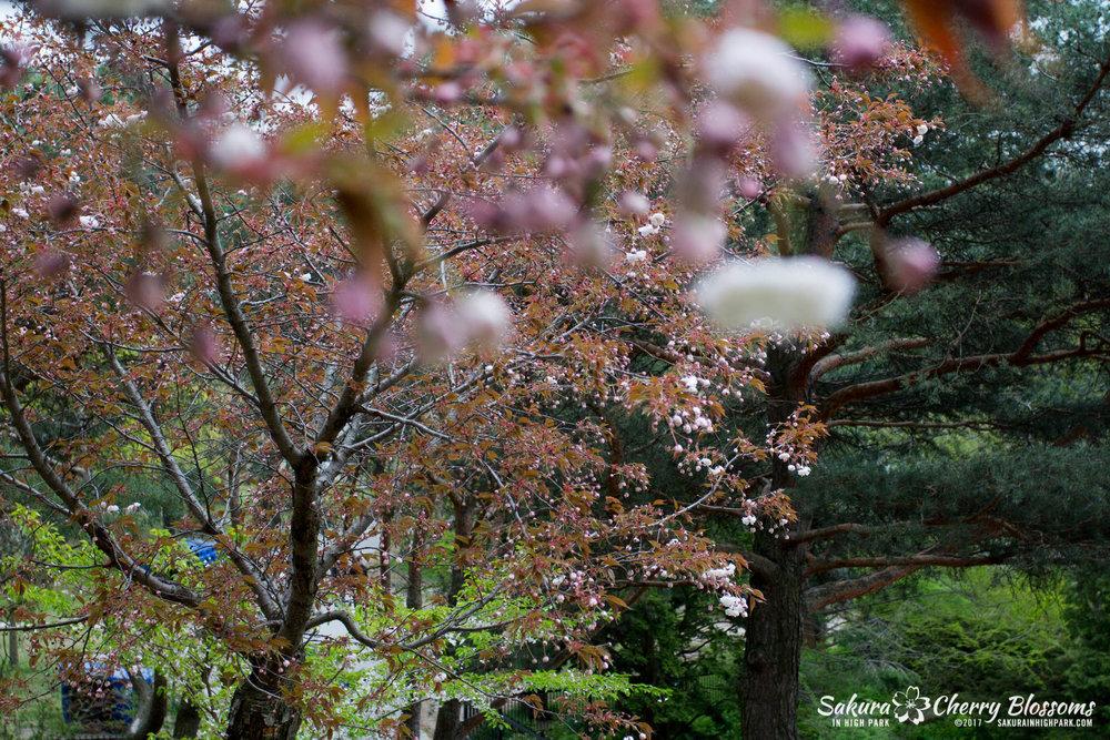Sakura-Watch-May-12-2017-akebono-fugenzo-in-bloom-116.jpg