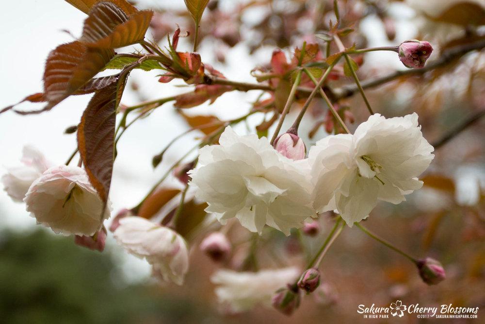 Sakura-Watch-May-12-2017-akebono-fugenzo-in-bloom-114.jpg