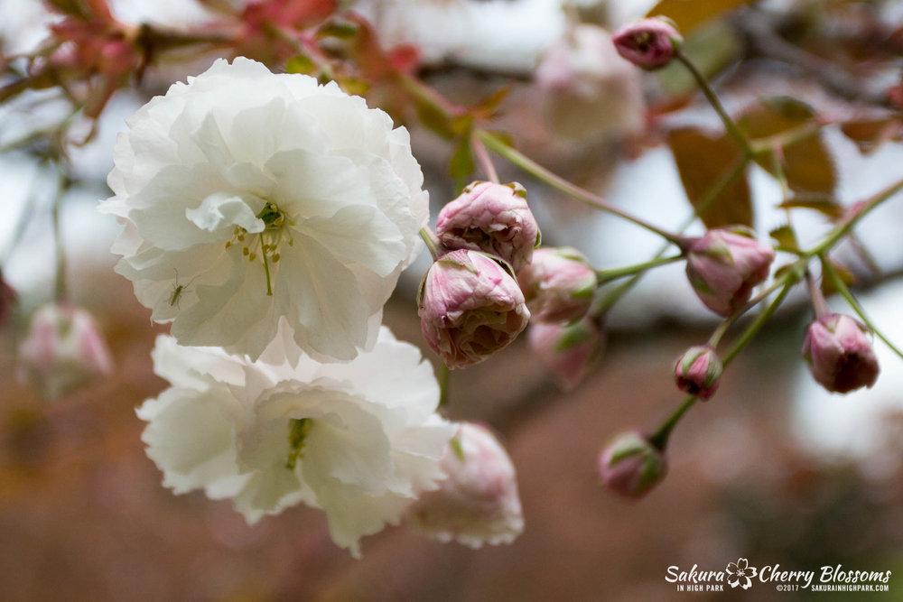 Sakura-Watch-May-12-2017-akebono-fugenzo-in-bloom-110.jpg