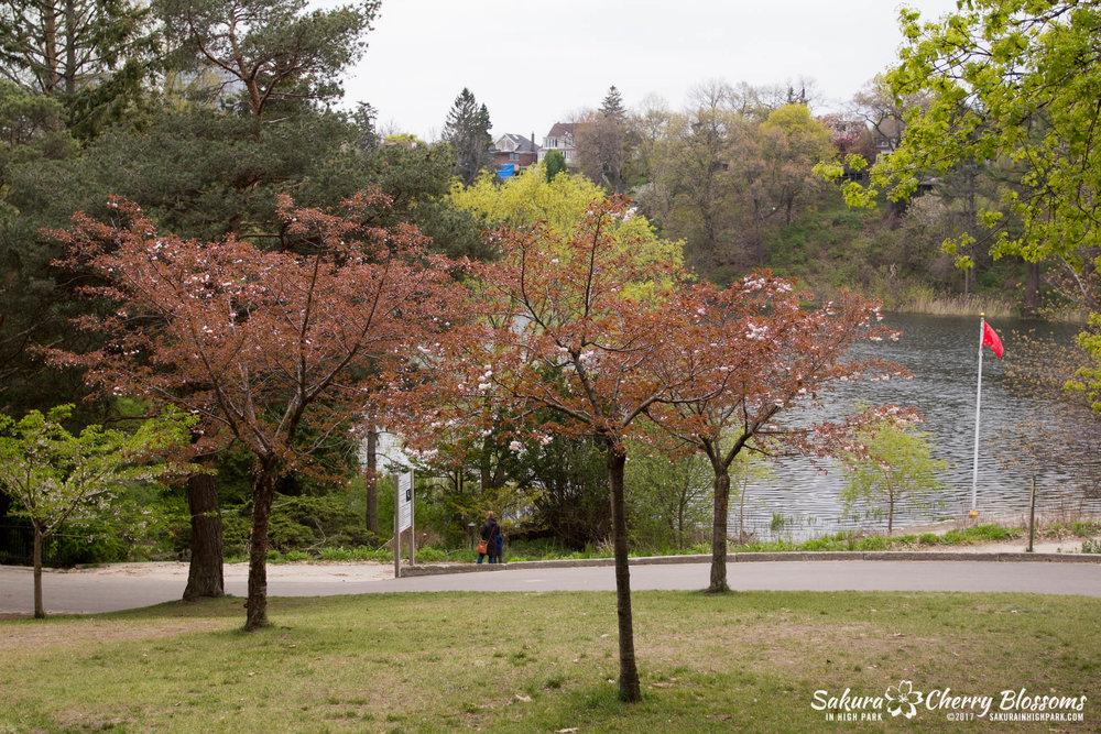 Sakura-Watch-May-12-2017-akebono-fugenzo-in-bloom-106.jpg