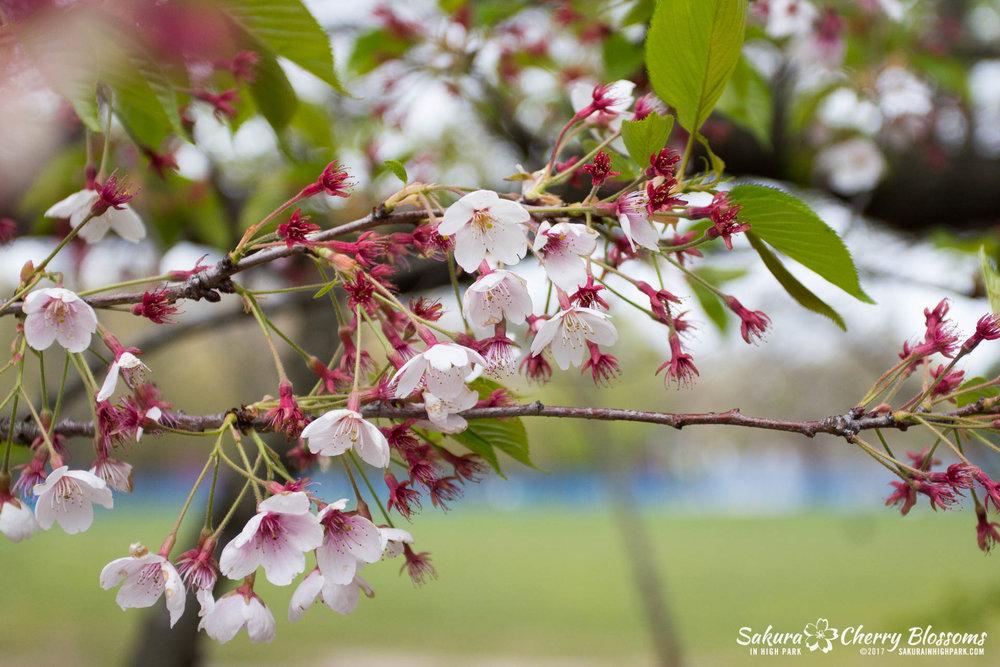 Sakura-Watch-May-12-2017-akebono-fugenzo-in-bloom-21.jpg