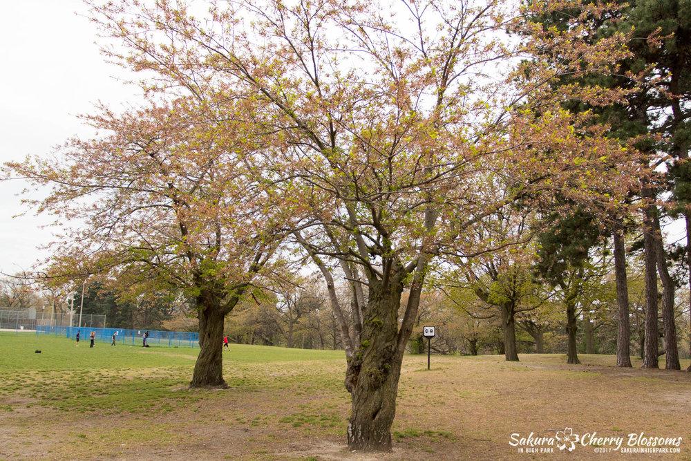 Sakura-Watch-May-12-2017-akebono-fugenzo-in-bloom-4.jpg