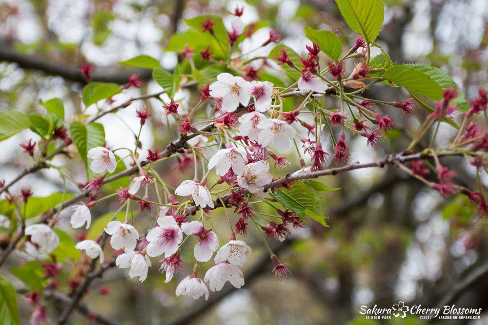Sakura-Watch-May-12-2017-akebono-fugenzo-in-bloom-20.jpg