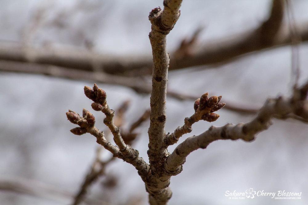 Sakura-Watch-March-28-2018-3.jpg