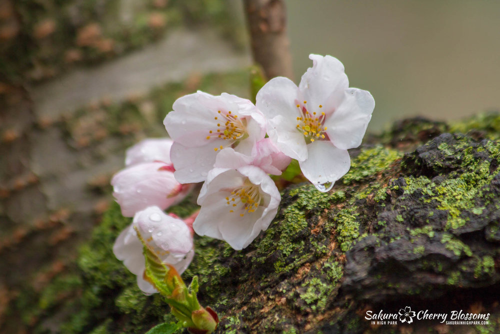 Sakura-Watch-May-4-2018-35.jpg