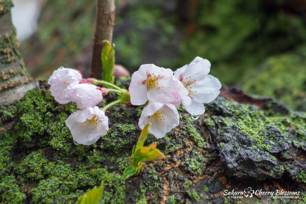 Sakura-Watch-May-4-2018-7.jpg