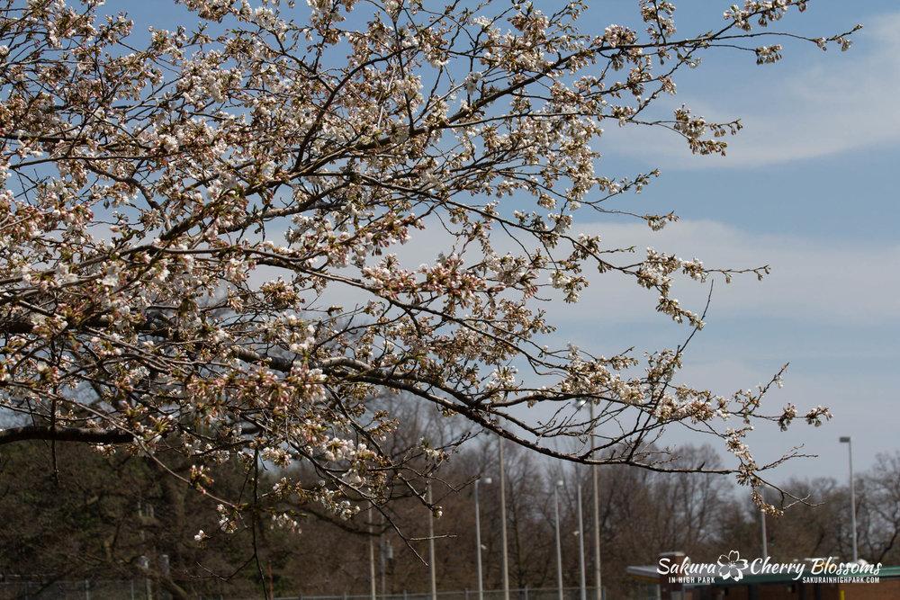 Sakura-Watch-May-5-2018-153.jpg