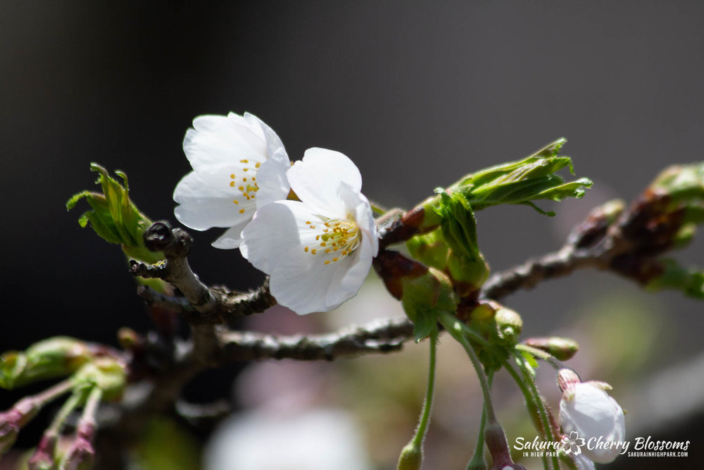 Sakura-Watch-May-5-2018-43.jpg