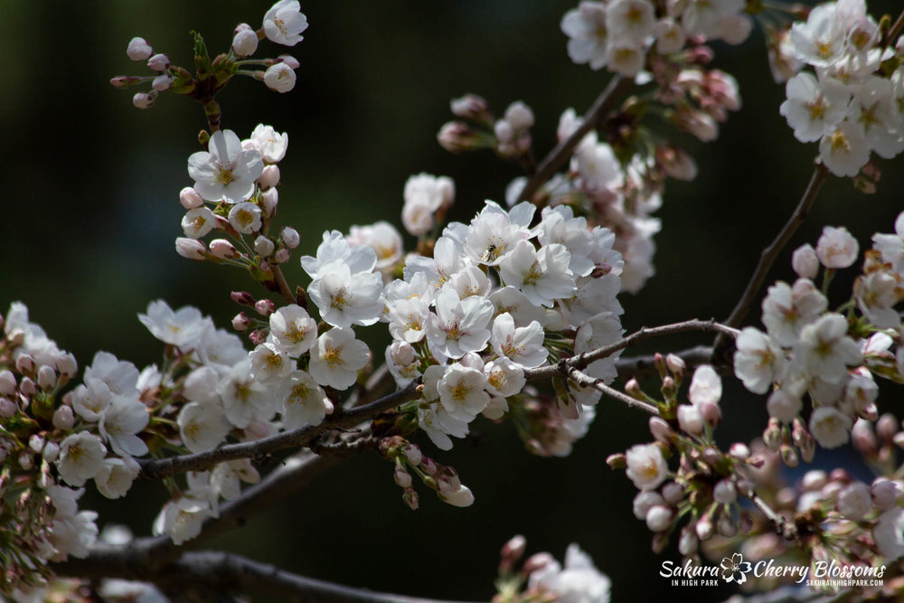 Sakura-Watch-May-5-2018-25.jpg