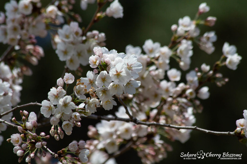 Sakura-Watch-May-5-2018-23.jpg