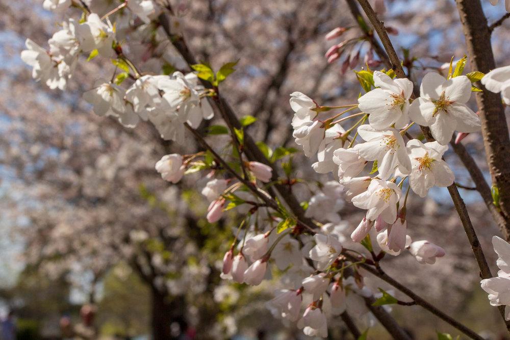 Sakura-Watch-May-9-2018-22.jpg