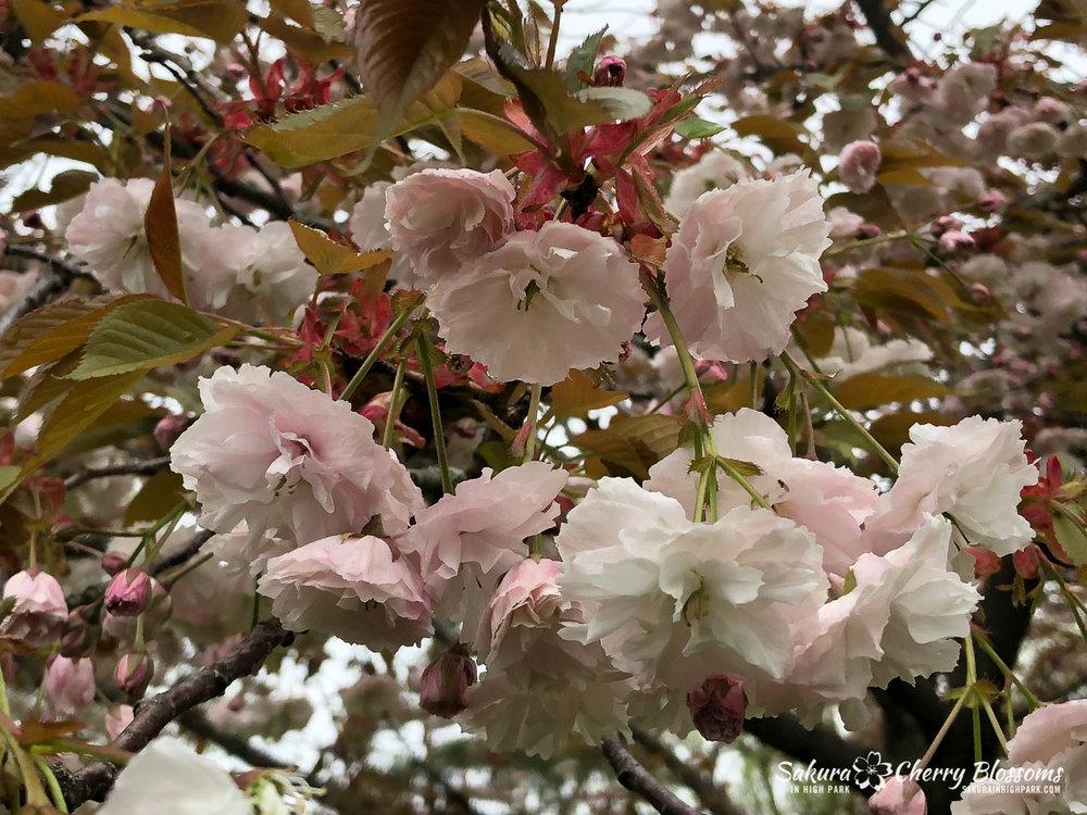 Sakura-Watch-May-22-2018-24.jpg
