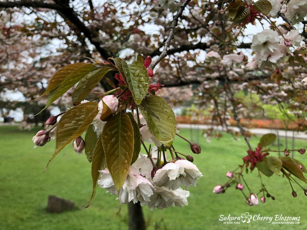 Sakura-Watch-May-22-2018-13.jpg