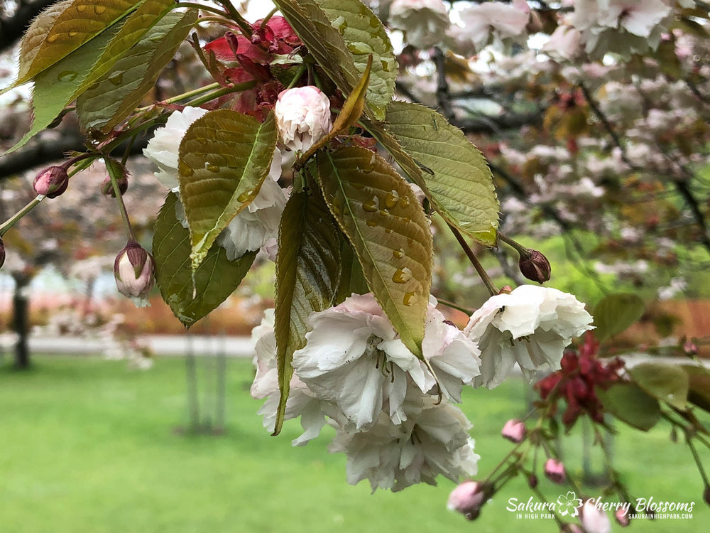 Sakura-Watch-May-22-2018-10.jpg
