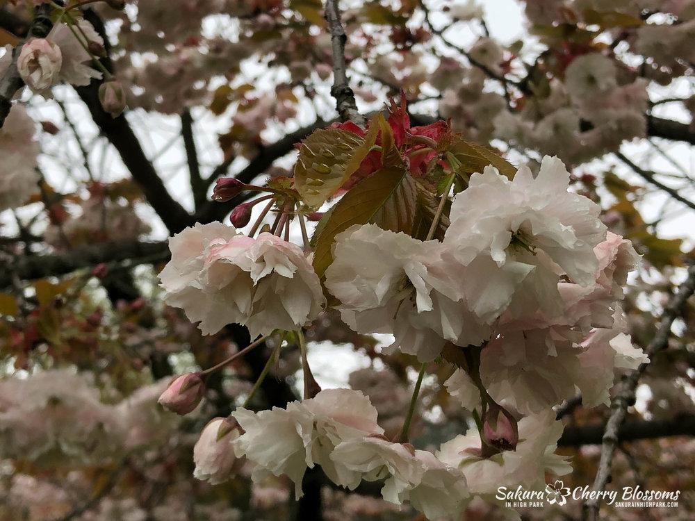 Sakura-Watch-May-22-2018-2.jpg