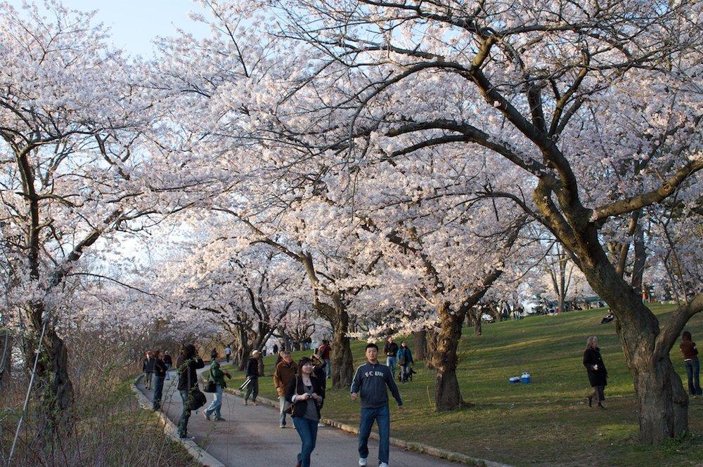 Sakura - Cherry Blossoms - High Park - 2010
