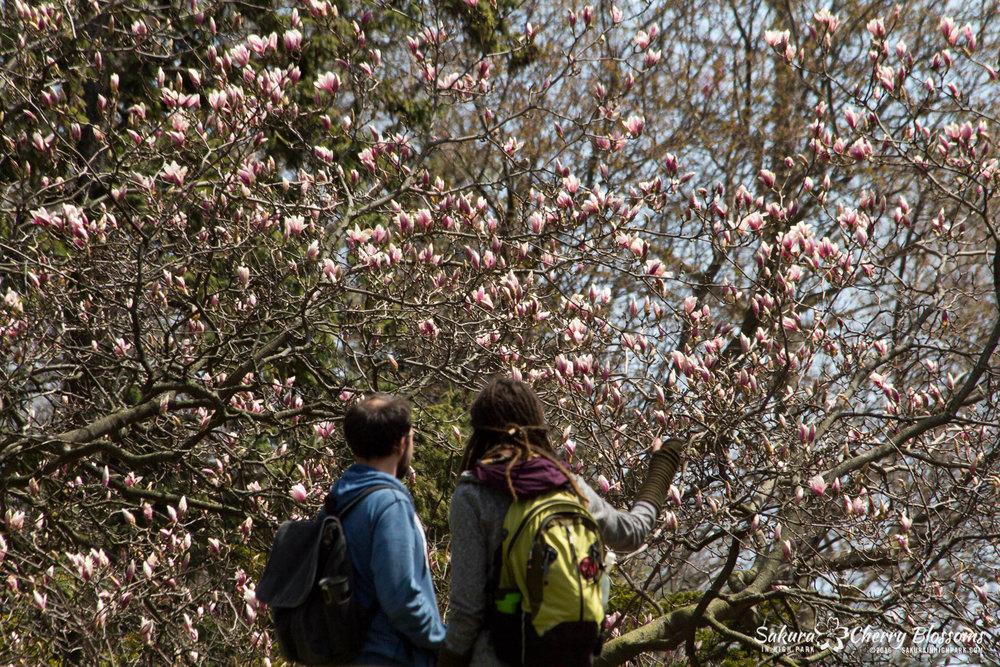 Photos of magnolia tree in High Park, Toronto, shot April 30, 2016 by Steven Joniak - SakurainHighPark.com