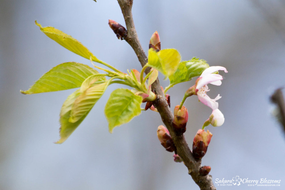Few sakura cherry blossoms are now beginning to burst out of their bud casings by Spring Road in High Park on May 13, 2016