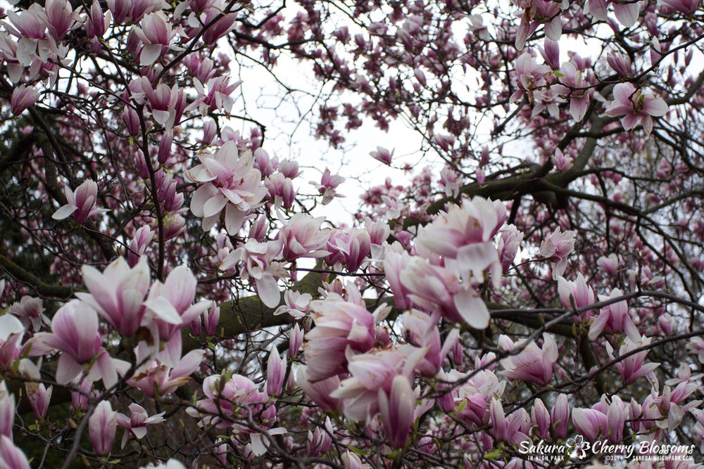 Magnolia tree near the top of the Japanese Garden near the top of Cherry Hill