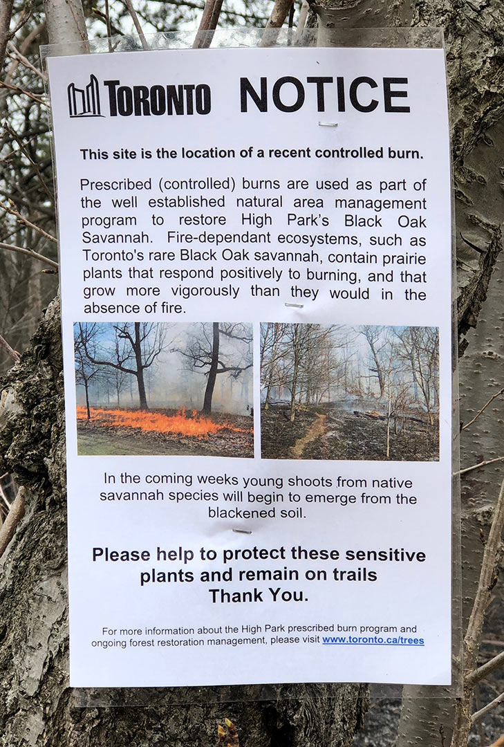 NOtice - Yesterday also saw the prescribed annual burn happen in a few areas in the park, one near the large grove of trees across from Grenadier Restaurant. The Toronto Forestry posted notices throughout the park explaining each burn site - here an excerpt: