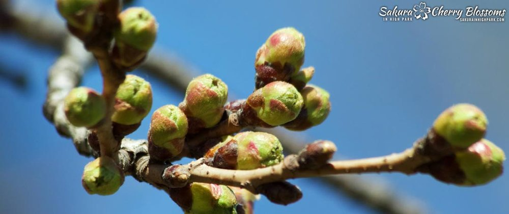 from bud to bloom in 6 stages - Have you even wondered how to tell when the cherry blossom buds are going to open? See this visual guide for tips and signs of what to look for!