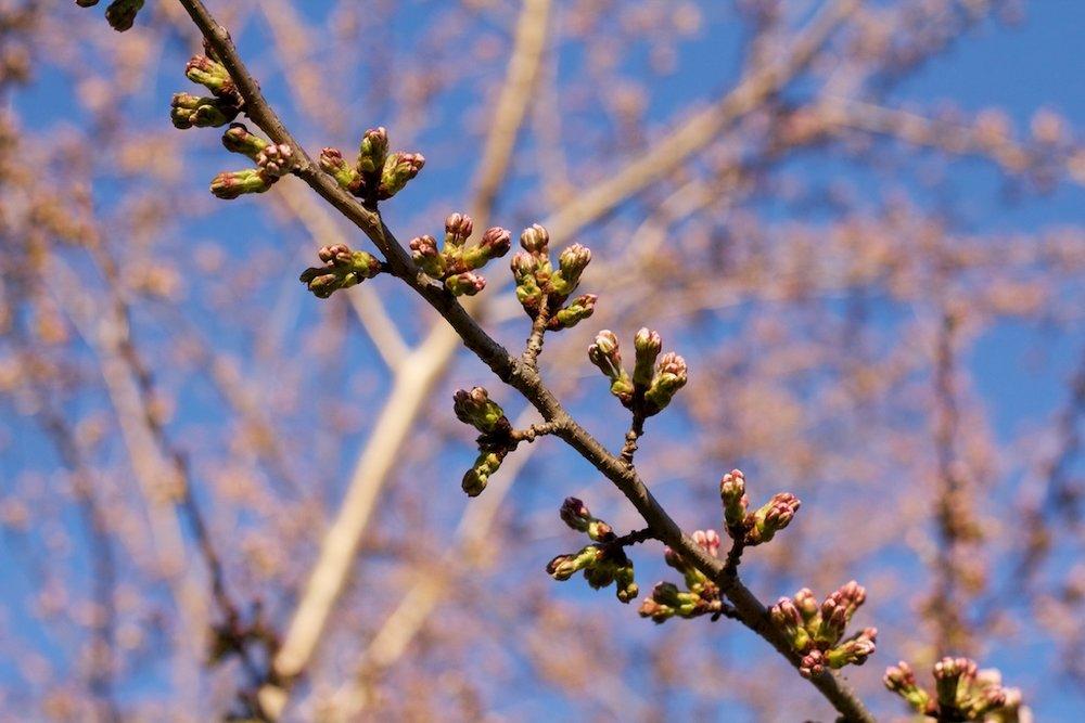 Sakura_003-2012-04-02.jpg