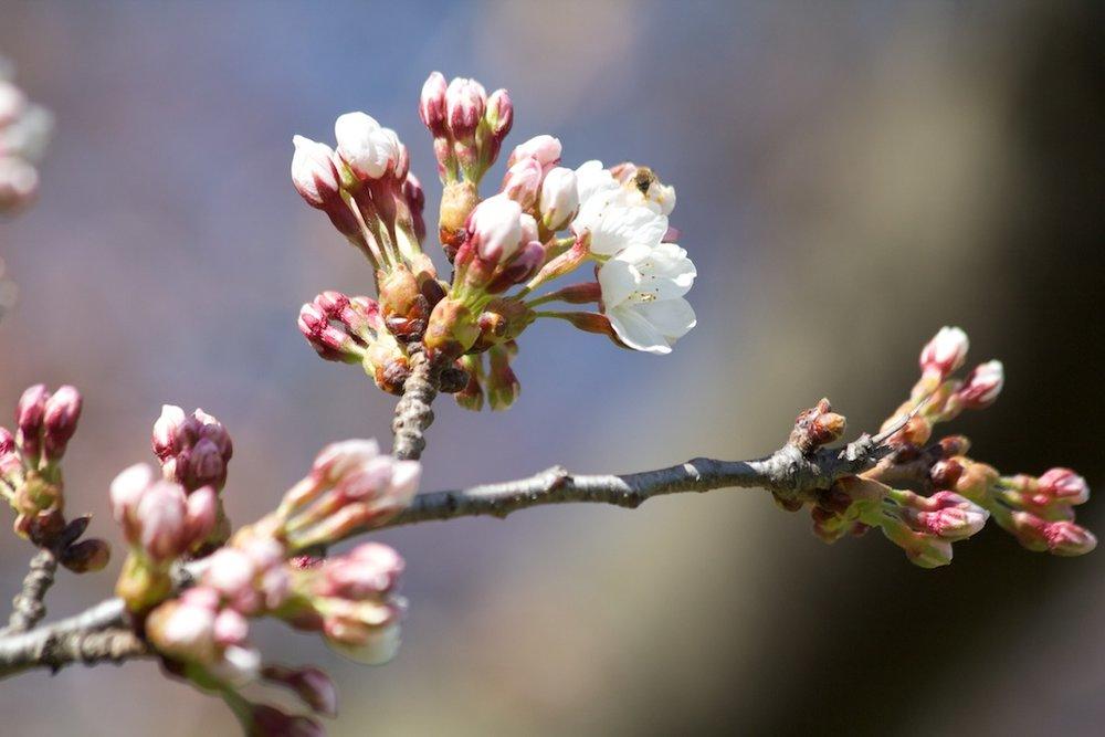 Sakura in High Park - first signs of blooms earlier then ever! More at http://www.sakurainhighpark.com