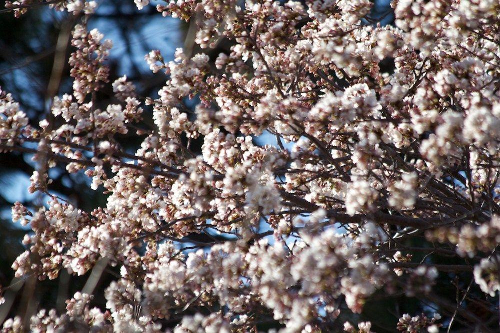 Sakura_295-2012-04-06.jpg