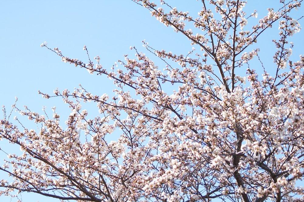 Sakura_293-2012-04-06.jpg