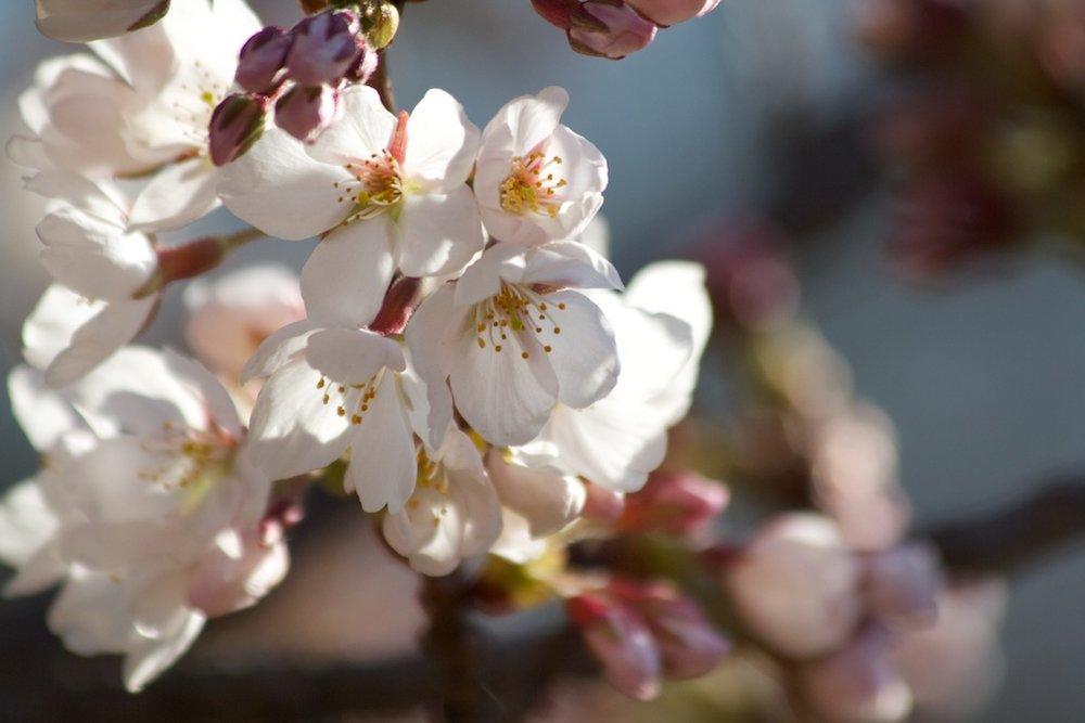 Sakura_290-2012-04-06.jpg