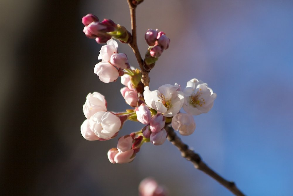 Sakura_304-2012-04-06.jpg