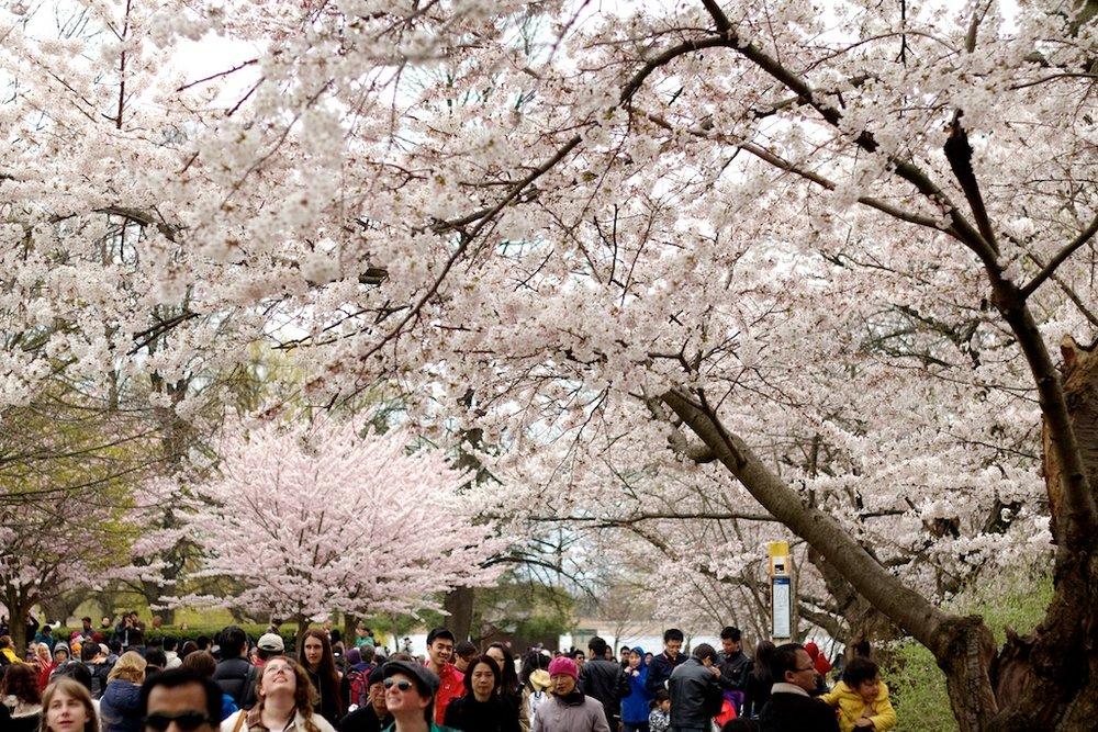 Sakura // Cherry Blossoms in High Park - April 14, 2012 - www.SakurainHighPark.com