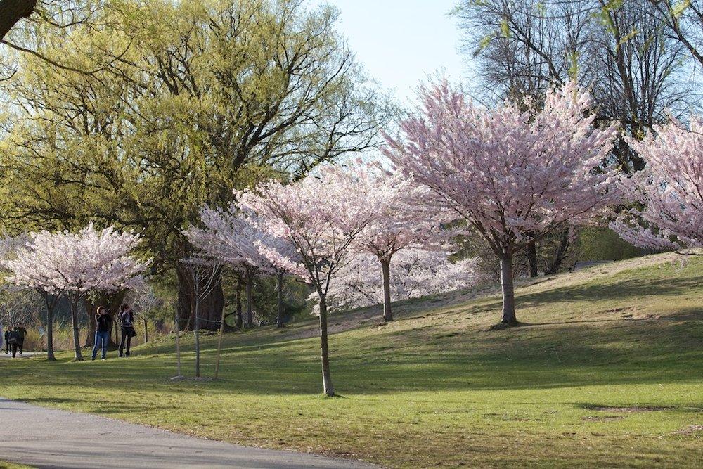 Sakura // Cherry Blossoms in High Park - April 17, 2012 - www.SakurainHighPark.com
