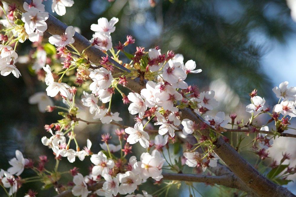 Sakura // Cherry Blossoms in High Park - April 25, 2012 - www.SakurainHighPark.com