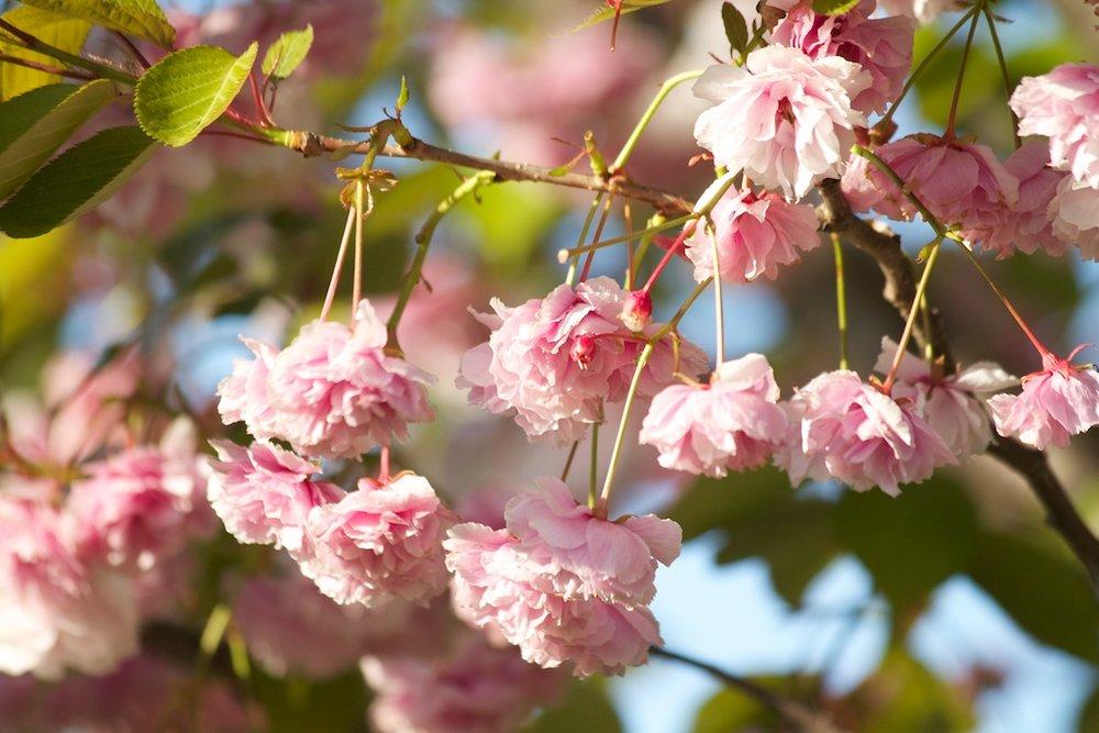 Sakura // Cherry Blossoms in High Park - May 17, 2012 - www.SakurainHighPark.com