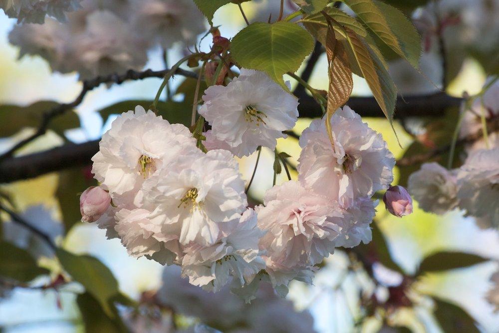 Sakura // Cherry Blossoms in High Park - May 11, 2012 - www.SakurainHighPark.com