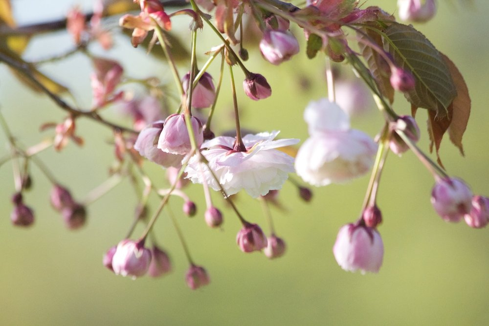 Sakura // Cherry Blossoms in High Park - May 5, 2012 - www.SakurainHighPark.com