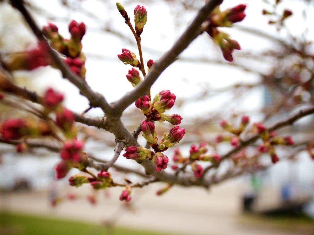 One more week until sakura blossoms bloom! Photos from April 28, 2013. www.SakuraInHighPark.com ©Steven Joniak Photography