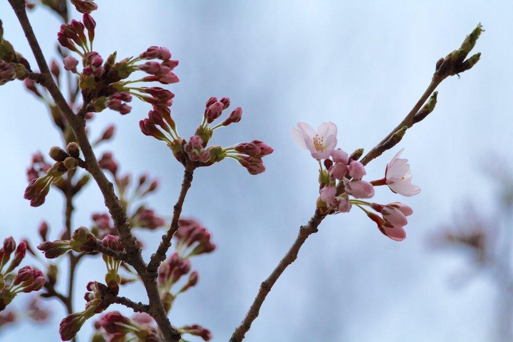 First Sakura // Cherry Blossoms open up on April 30, 2013. www.SakuraInHighPark.com