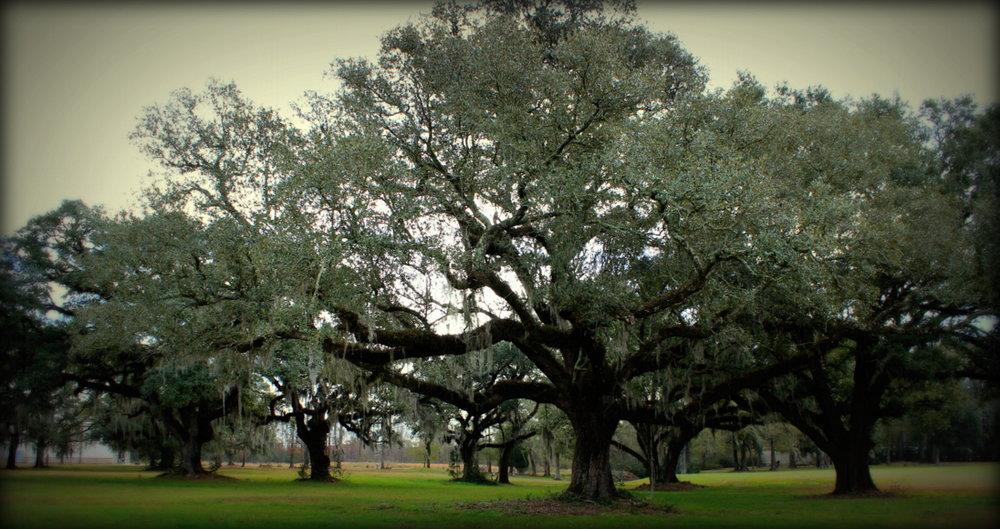 oaks 1.JPG